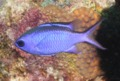 Damselfish - Blue Chromis - Chromis cyanea
