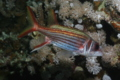 Squirrelfish - Bloodspot Squirrelfish - Neoniphon sammara