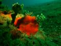 Frogfish - Painted Frogfish - Antennarius pictus