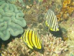Butterflyfish - Eight-banded butterflyfish - Chaetodon octofasciatus