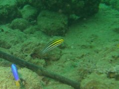 Blennies - Striped fangblenny - Meiacanthus grammistes