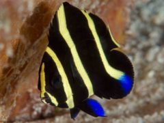 Angelfish - Gray Angelfish - Pomacanthus arcuatus