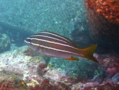 Grunts - African striped grunt - Parapristipoma octolineatum