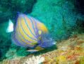 Angelfish - Blue-ringed Angelfish - Pomacanthus annularis