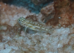 Gobies - Bridled Goby - Coryphopterus glaucofraenum