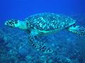 Turtle - Green Sea Turtle - Chelonia mydas