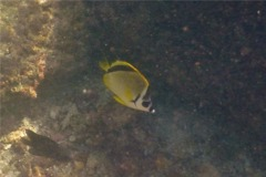 Butterflyfish - Barberfish Butterfly - Johnrandallia nigrirostris