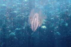 Comb Jellyfish - Spot-Winged Comb Jellyfish - Ocyropsis maculata