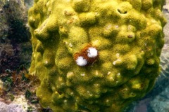 Nudibranch - Christmas tree worm - spirobranchius giganteus
