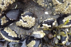 - Atlantic Surf Clam - Spisula solidissima