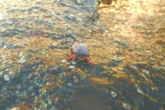Crabs - Red Reef Hermit Crab - Paguristes cadenati